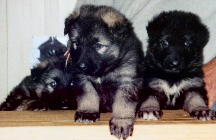 3 pups - Ranger on right