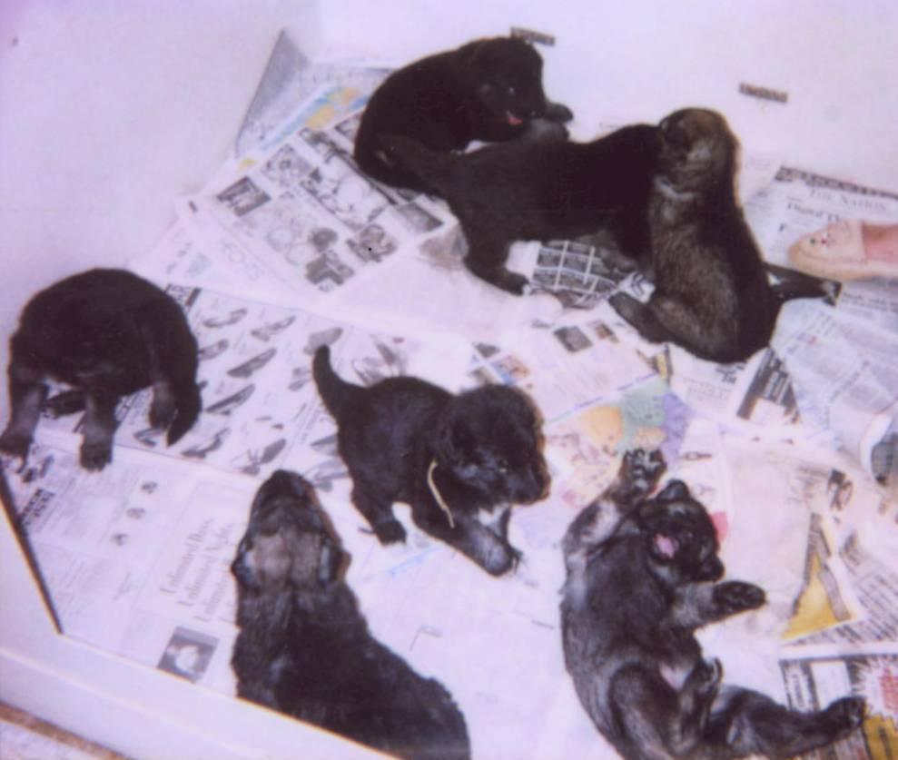 7 Shiloh pups at 3-1/2 weeks