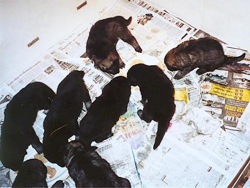8 Shiloh pups at 3-1/2 weeks