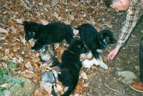 4 Raid the Wind pups at 8-1/2 weeks